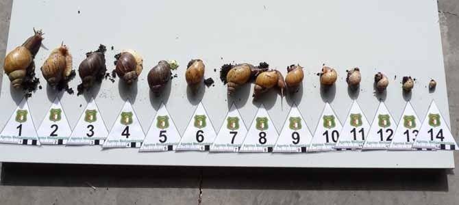 Los parásitos en forma de las semillas