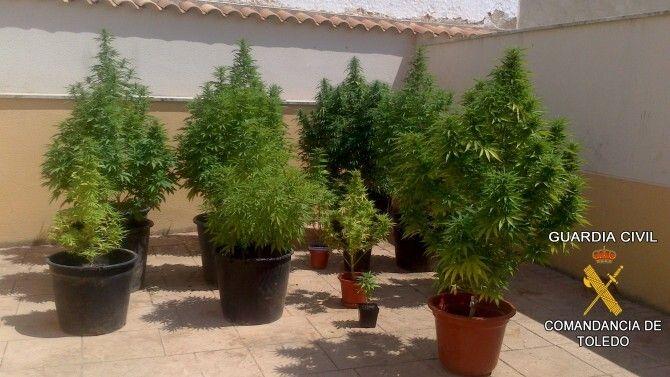 Como cultivar cannabis related keywords como cultivar for Como sembrar plantas ornamentales